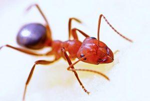 rode mierenbeet